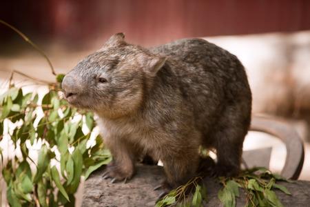 wombat: Wombat, marsupial australiano Foto de archivo