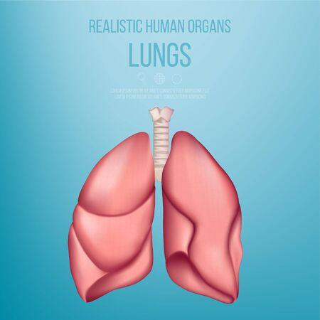 Healthy human lungs. Anatomical model of human organs. Realistic vector. Иллюстрация