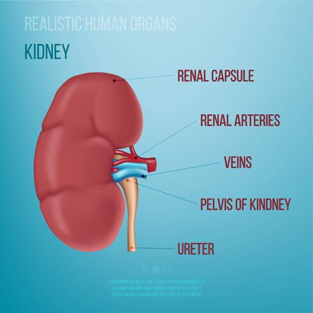 Realistic illustration of a human kidney on a blue background. Names of human organs. Vector illustration