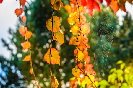 spider net: Golden autumn leaves of climbing plant with the spider net spread between them in the sun backlight