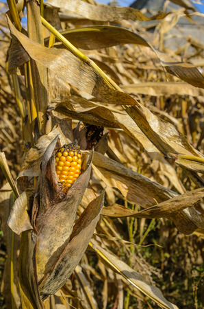 Corn cob in a field with long leaves moving on wind