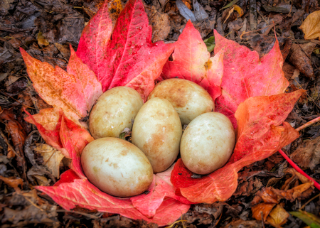 Swan eggs in abandoned nest made of fallen red and yellow  leaves, autumn.