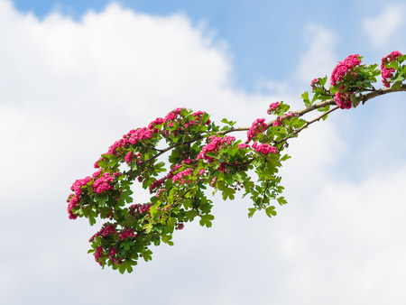 Branch with red flowers blossoming in the spring against the cloudy sky Banque d'images