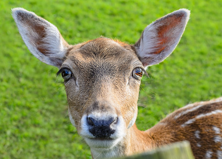 Head of deer doe, portrait with green grass background, white tail (tailed) animal, big bright eyes.