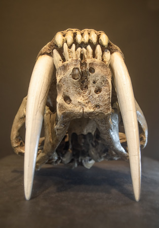 sabel: Saber tooth tiger skull, with long white front teeth.