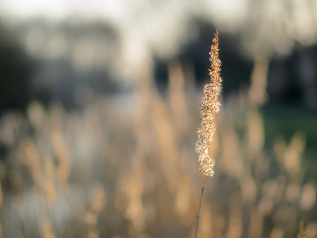 Dried reed voice wetland plant by the river. Closeup of one voice with blurred background. Banque d'images