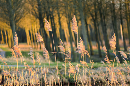 Dried reed wetland plant on wind by the river. Blurred motion. The species is invasive. Woods with sun reflections at the background.