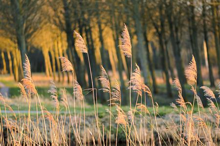 Séché zones humides plante roseau vent par la rivière. Mouvement flou. L'espèce est invasive. Woods avec chaises réflexions à l'arrière-plan.
