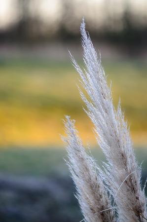 Blanc a conduit gros plan dans un champ d'or printemps heure le coucher du soleil avec de l'herbe reen juste commencé à croître.
