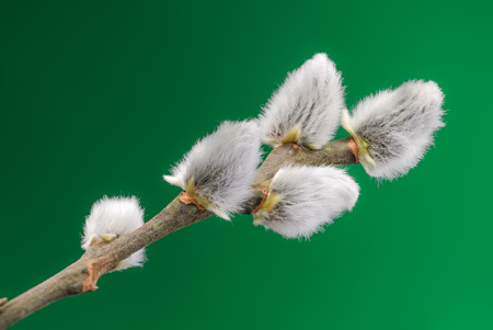 One of the first trees to break bud in late winter or early spring is pussy willow. Branch with buds, with green background.