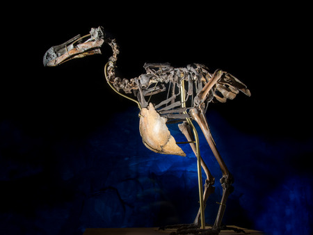 Dodo bird skeleton, on black and blue background, extinct animal, weighing up to 50 pounds, the dodo bird was a welcome source of fresh meat for the sailors. Banco de Imagens