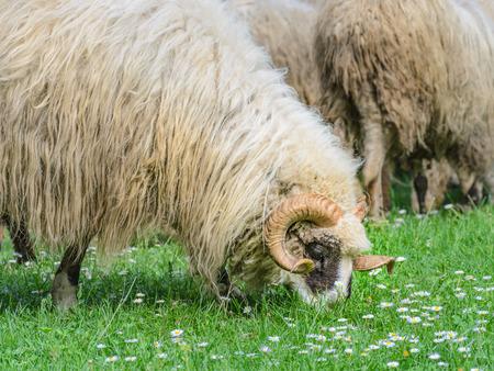Vieux bélier avec son troupeau de moutons dans la prairie, au printemps, lorsque les premières fleurs apparaissent à partir de l'herbe. Type de mouton Pramenka typique pour la région des Balkans.