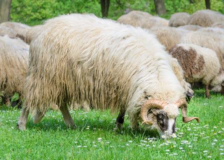 Vieux bélier avec son troupeau de moutons qui paissent dans la prairie, au printemps, lorsque les premières fleurs apparaissent à partir de l'herbe. Type de moutons Pramenka typique pour la région des Balkans. Banque d'images