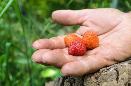 Les petites fraises des bois sur un vieux agriculteurs main, dans les bois avec une souche d'arbre. Banque d'images