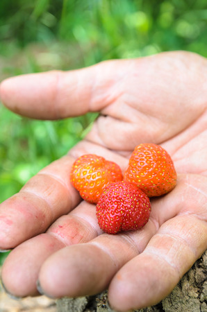 Small wild strawberries on a old farmers hand, in the woods with a tree stump. Banque d'images