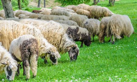 Troupeau de moutons dans la prairie, au printemps, lorsque les premières fleurs apparaissent à partir de l'herbe. Type de moutons Pramenka typique pour la région des Balkans. Banque d'images