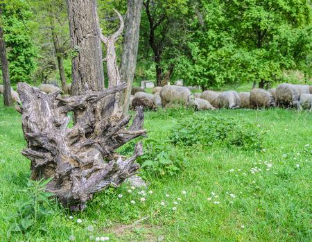 Ancien arbre tombé et troupeau de moutons qui paissent dans la prairie.