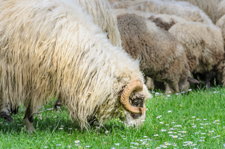 Old ram with his flock of sheep grazing in the meadow, in the spring when the first flowers appear from the grass. Sheep type Pramenka typical for Balkan region.
