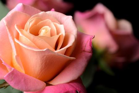 Roses jaunes, orange, roses crémeux isolés sur fond noir, multicolores, couleurs douces rêveuses. Banque d'images - 86579074