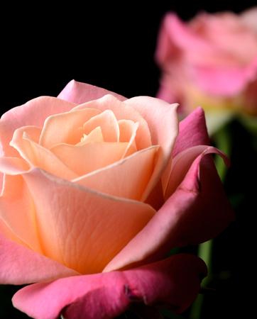 Roses jaunes, orange, roses crémeux isolés sur fond noir, multicolores, couleurs douces rêveuses. Banque d'images - 86674013