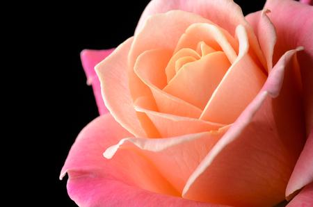 Rose jaune, orange, rose crémeuse isolée sur fond noir, multicolore, couleurs douces rêveuses. Banque d'images - 86579076