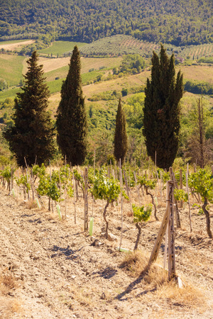 Young grape vines growing with row of pine trees in the background. Grapes Vines Being Planted. vineyard.