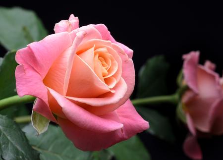 Roses jaunes, orange, roses crémeux isolés sur fond noir, multicolores, couleurs douces rêveuses. Banque d'images - 86674015
