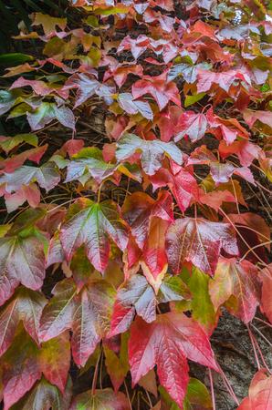 Feuilles d'automne rouges et vertes Banque d'images - 86955309