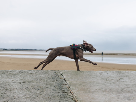 Beautiful dog, chesapeake bay retriever, running on the beach Banque d'images - 95335916