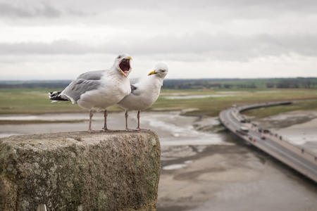 Two seagulls singing, yelling, screaming, at the top of fortress or Mont Saint Michel, view, low tide, Normandy, France Banque d'images - 97367066