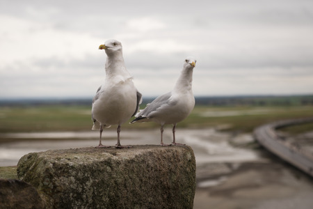 Two seagulls at the top of fortress of of Mont Saint Michel, view, low tide, Normandy, France Stock Photo