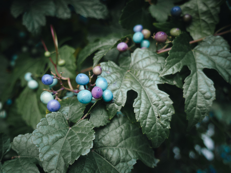 Colorful berries with green leaves, blue, purple, green Banque d'images - 101865839