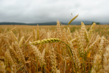 Yellow, golden wheat field with green straw closeup against cloudy sky, Banque d'images - 106148309