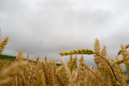 Wheat field with closeup straws against cloudy sky, Banque d'images - 106148312