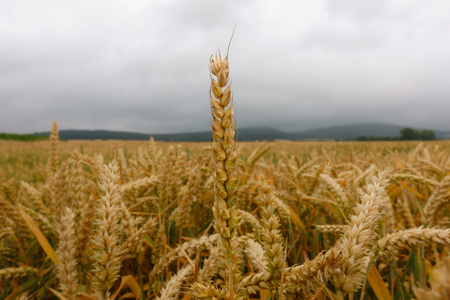 Wheat field with closeup straws against cloudy sky,