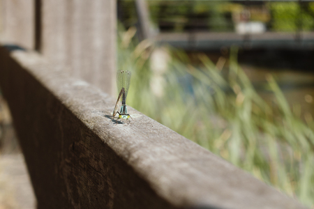dragonfly sitting and posing on wooden fence in garden,  macro Banque d'images - 106131246