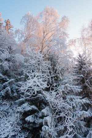 Sunrays  passing through highest tree covered with snow in the wood, winter forest landscape Stock Photo