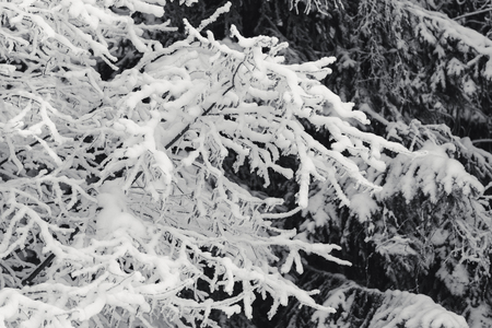 Tree branches under the snow, winter forest landscape, monochrome