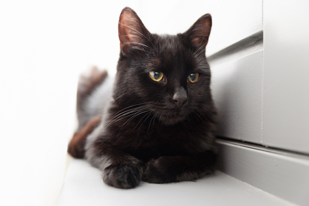 black cat with yellow orange eyes, resting by the window with white curtain