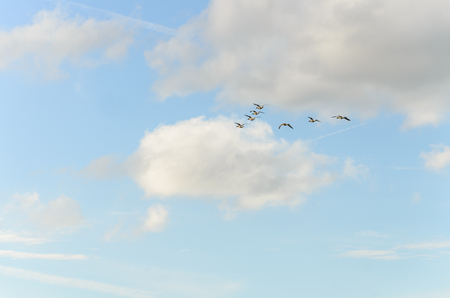 Birds in classic V formation flying against the blue sky and clouds