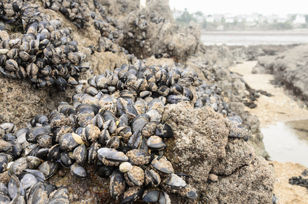 Wild mussels in the nature, on the rocks of the shore in Brittany, France Banco de Imagens