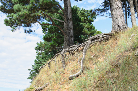 Big trees and long root protruding over the ground at the edge of a cliff under blue sky and clouds
