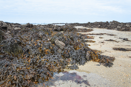 Brown yellow seaweed, washed up on the coast of Bretagne, France