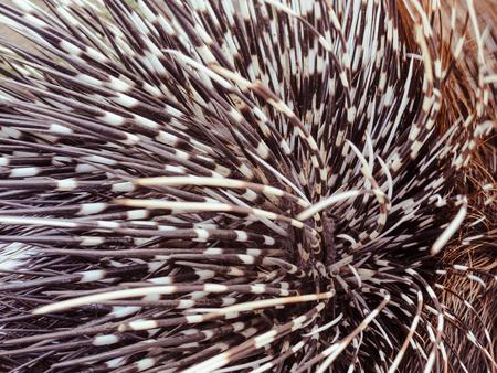 Big porcupine quills, close up Standard-Bild