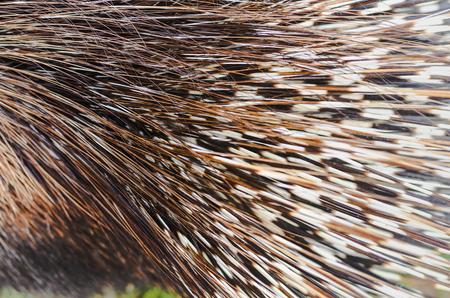 Big porcupine quills, close up Stock Photo