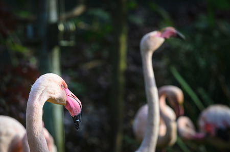 Flamingos (flamingoes) heads in the foorground, in the forest. They are a type of wading bird in the family Phoenicopteridae. Stock Photo