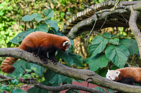 Two red pandas, panda lying and climbing the tree with green leaves. Banco de Imagens