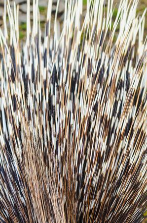 Big porcupine quills, close up Banco de Imagens