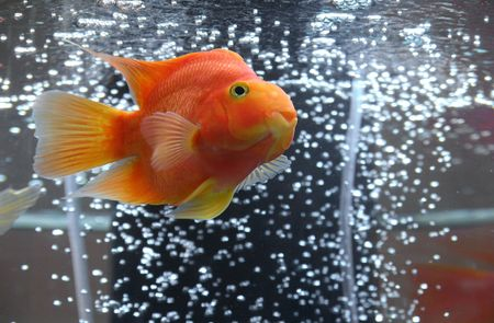 Goldfish in aquarium with bubbled air 写真素材