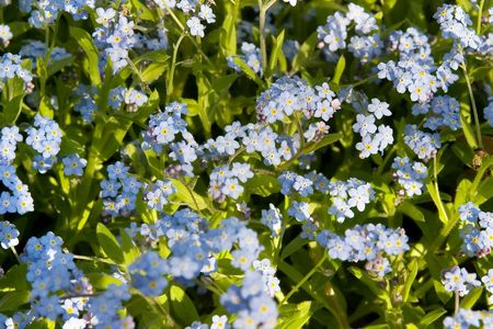 Blue flowers bloom. Forget-me-not flowers.